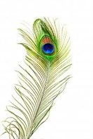 Peacock feather 70-90cm